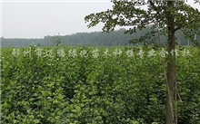 关于柠檬树挂果,果树的种植、和管理
