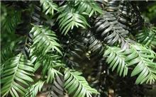 红豆杉盆栽的作用都有什么?红豆杉有什么重要的作用?