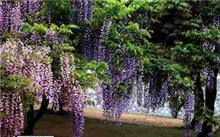 紫藤长什么样的啊?紫藤为什么不开花?