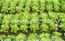曲靖今天生菜的价是多少啊?生菜的营养价值和吃法有哪些?