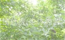 紫藤在北方能生长吗?紫藤的稀有品种