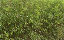 盆栽腊梅怎样进行整形修剪?怎样给盆景腊梅花浇水?
