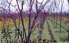有关于紫藤的传说吗?紫藤的种子是什么样子的?