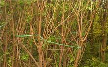 盆栽的腊梅花怎样才能养好?