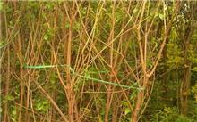 腊梅怎样栽培?腊梅树一般在什么季节栽种?