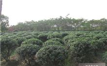 绿化用从生五角枫一般几个分枝