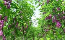紫藤的生活环境?紫藤叫什么树?