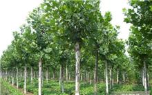 五角枫怎么施肥?哪些绿化苗木可在大棚种植?