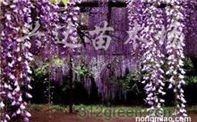 什么是紫藤花?紫荆和紫藤的区别是什么?