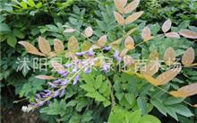 紫藤种植基地 紫藤哪里有?这是紫藤吗?