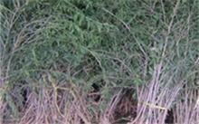 五角枫市场前景如何?园林树木有多少?