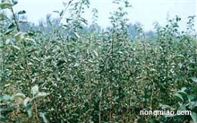 山楂树有哪几个品种?山楂树的生长特性