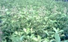 桂花树图片,桂花的白描图片
