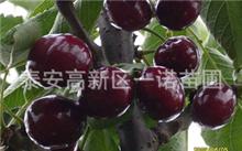 樱桃树苗的种植方法