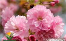 桂花树怎么画?(图片)),春天开小白花的树图片和花名
