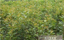 车厘子树苗一亩地种植多少棵?樱桃树苗如何种植成活率高?