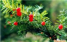 有人知道红豆杉吗?红豆衫的叶子有什么作用?