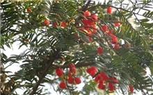 红豆杉的价值,红豆杉的作用?