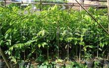 五年沉香树有什么价值?沉香树能不能在西安种植?