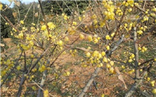 腊梅长什么样?腊梅与迎春有什么区别?