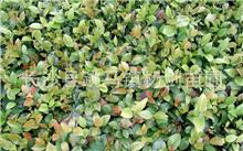 怎么样才能延长茶梅花期 ?茶梅盆景怎么养护?