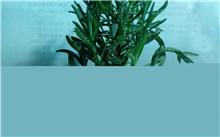 薰衣草几月份种?薰衣草是什么颜色的?