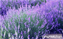 薰衣草有几种种类??薰衣草是什么样?