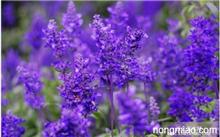 薰衣草 花,关于薰衣草 薰衣草是几月的花?