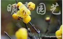 腊梅什么时候长叶子?腊梅和蜡梅究竟哪个词语正确?