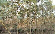 如何科学的种植竹柳?竹柳与青皮垂柳的区别