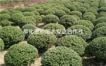 大叶黄杨有哪些形态特征?瓜子黄杨的资料???