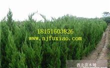 绿化带的小柏树怎样制作盆景?