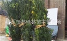 大花惠兰怎么养?种大花蕙兰最好的基质是什么?