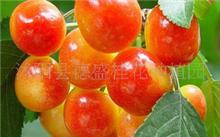 大樱桃和车厘子有什么区别?大樱桃和车厘子的区别及特点