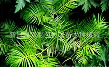 水杉树是什么树?水杉树价格是多少?