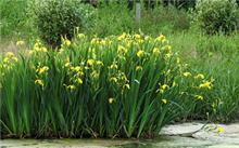 鸢尾花有几类?黄花鸢尾花的含义