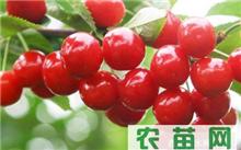 大樱桃授粉品种如何搭配?大樱桃的品种那里好