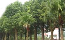 水杉树有多高,如何养水杉树?