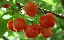 大樱桃啥时候拉,大樱桃做不住果?
