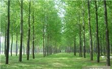 水杉树作文