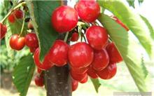 大樱桃怎么吃?大樱桃是怎么研制的?