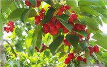 大樱桃与车厘子有什么区别?如何区分大樱桃的品种?