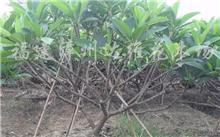 鸡蛋花树种植在家里花园好吗?鸡蛋花树的养护方法