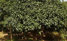 鸡蛋花树作文,鸡蛋花树的栽培技术
