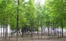 水杉树的外型特征和作用?中国最大的水杉树在 那里?