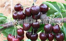 大樱桃与车厘子的区别,大樱桃有哪几个重要施肥时期?