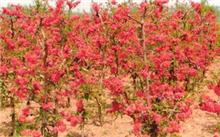 西府海棠什么时候开?如何区分西府海棠苗和苹果苗?