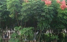 栾树有毒吗有人说栾树有毒?现在哪里有多杆栾树卖?