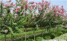 如何栽植美国红火箭紫薇?
