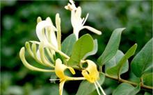 驱蚊的花草/植物有那些?描写花草等植物的词语